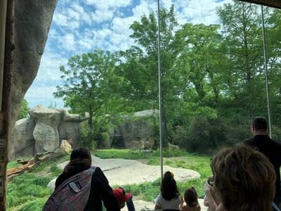 African lion Cincinnati Zoo